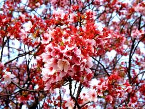 début de floraison au Shinjuku Gyoen