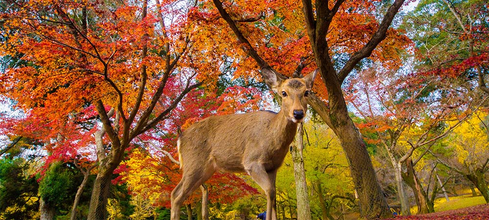 Ambiance forêt dans le parc de Nara. Crédits photo: Blank-wifi