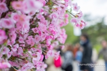 Hanami - Jardin d'Acclimatation