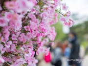 hanami-jardin-acclimatation-2016-016