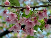 Cerisier sur l'île d'Enoshima près de Kamakura