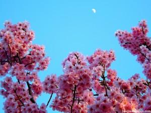 Les sakura et la lune à Marunouchi