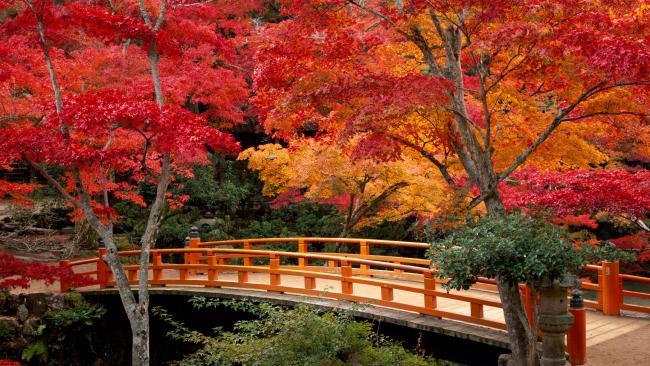Le pont vermillon du parc Momijidani se fond dans le décors. Crédits photo: Alamy