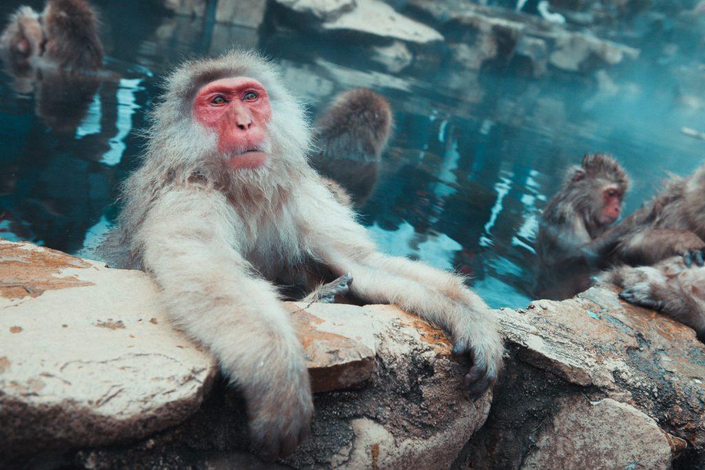 Singes prenant un bon bain chaud à Nagano - Photo de Jonathan Forage (Unsplash)