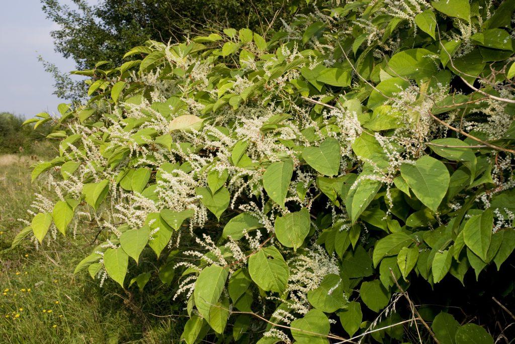 Reynoutria Japonica ou Renouée du Japon