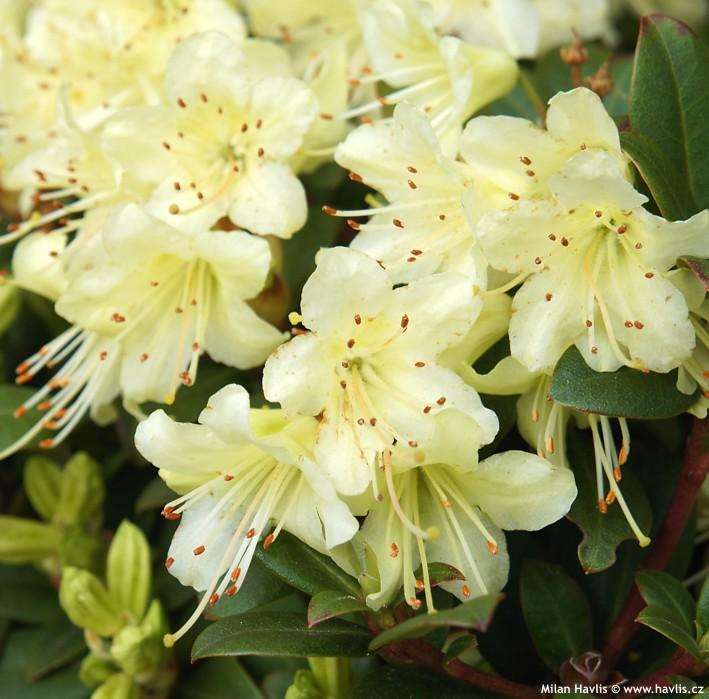 Rhododendron Keiskei