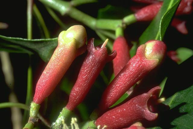 Giroflier  Eugenia caryophyllata