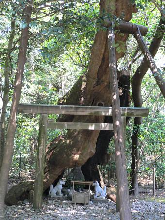 Arbre sacré (shinboku) du sanctuaire Tsukiyominomiya dédié au dieu lunaire Tsukiyomi à Ise