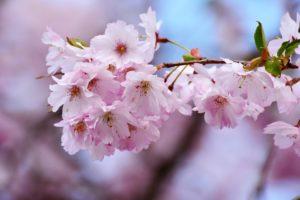 Fleurs de cerisier, sakura et impermanence des choses