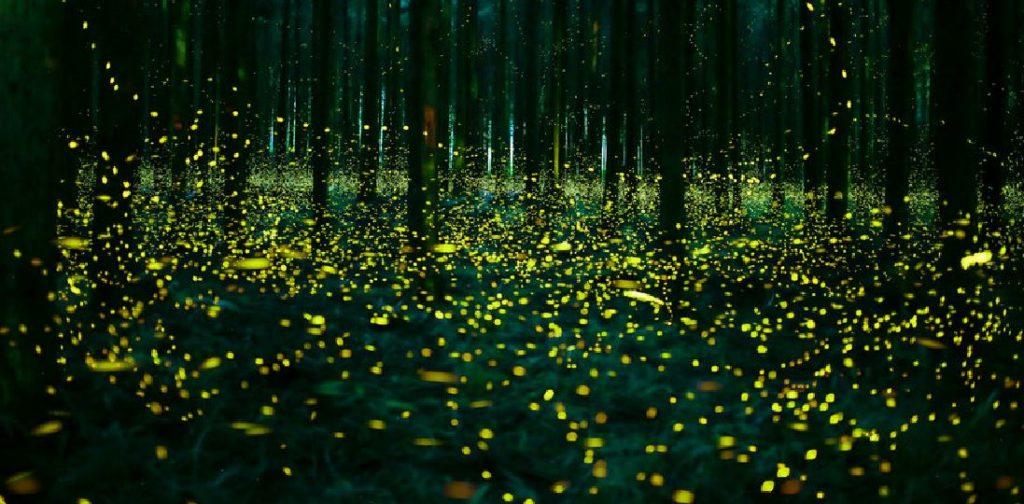 Les lucioles en été au Japon