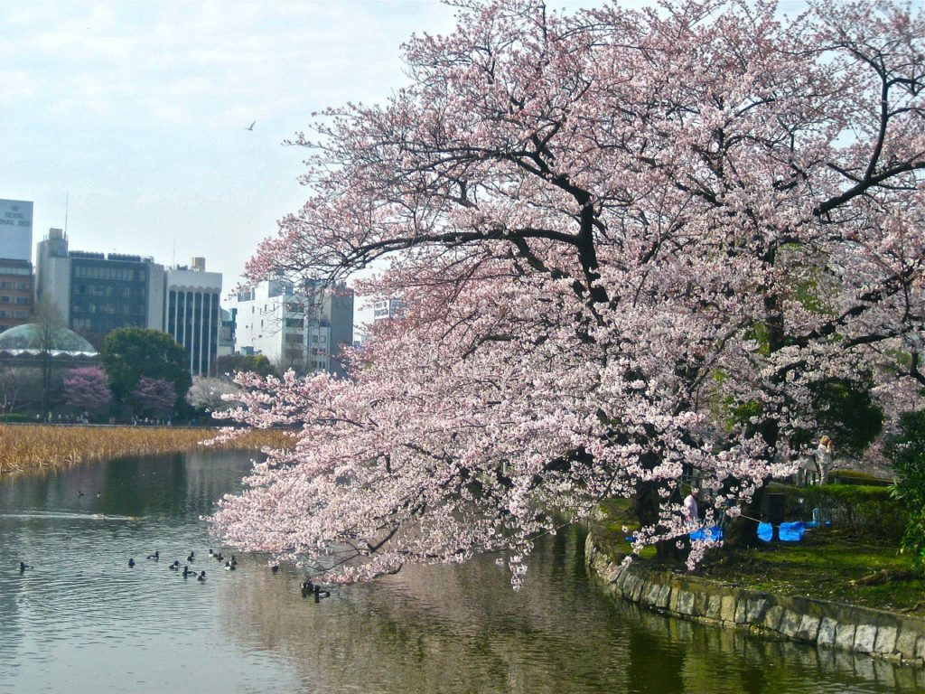 La beauté du parc impérial se révèle lors de la saison du Hanami, au printemps. Crédits :t_s_l