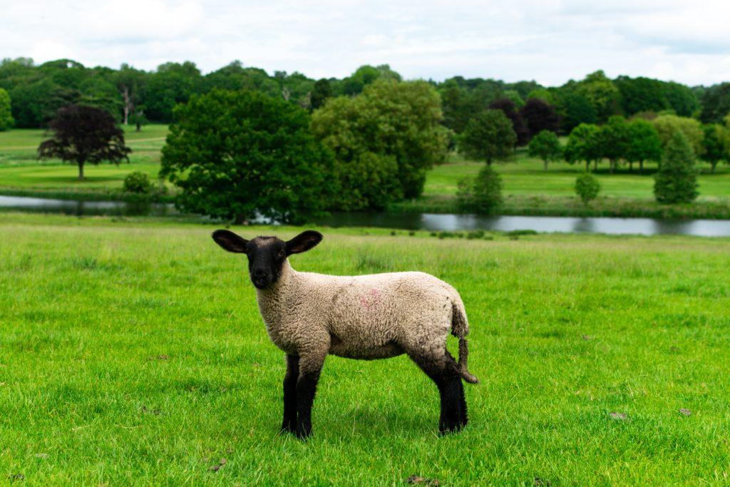 Un représentant de la race Suffolk ©Ethan Kent pour unsplash